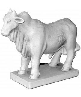 Indyjska krowa zebu